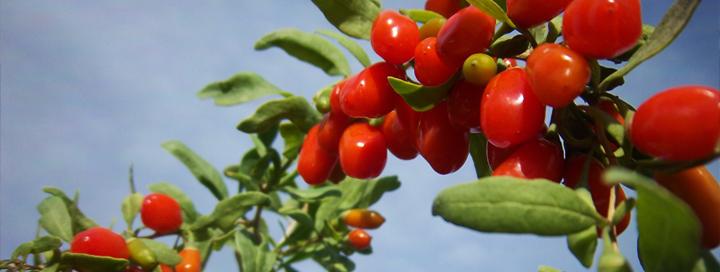 Plody goji obsahují až 500x více vitamínu C než pomeranč