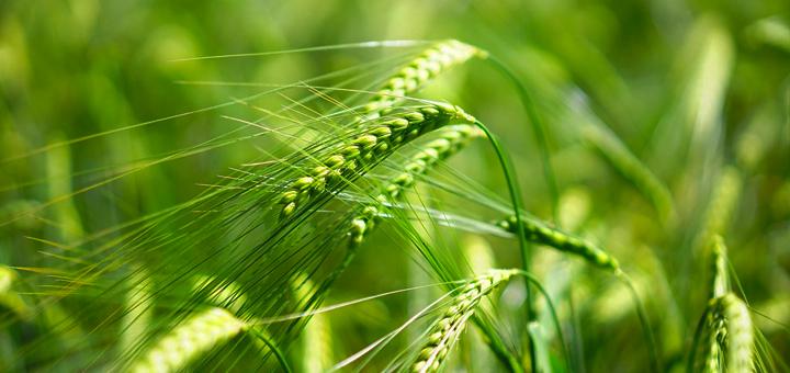 Zelený ječmen může pomoci při hubnutí