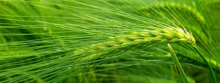 Zelený ječmen pomáhá zajistit správné fungování metabolismu.